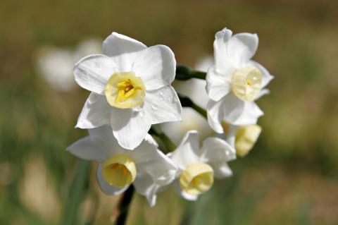 Jonquil_flowers.jpg
